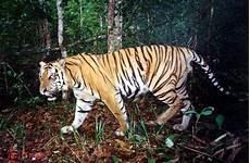 Get And Yuk Adopsi Harimau Sumatera