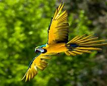 Flying Blue And Yellow Macaw Parot Bird  Wallpapers13com