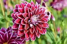 dahlias how to plant grow and care for dahlia flowers
