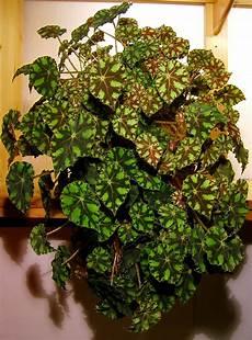 efeu zimmerpflanze pflege wimpern begonie wikiwand