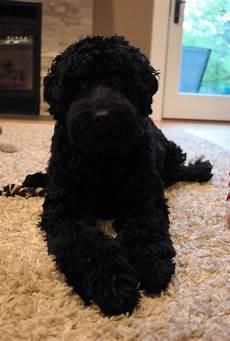 black labradoodle haircuts black labradoodle