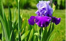 iris fiore immagini iris bulbi come coltivare l iris