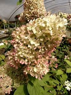 Antique Limelight Hydrangea Oregon Coastal Flowers