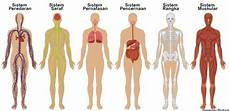 11 Sistem Organ Tubuh Manusia Dan Fungsinya Terlengkap