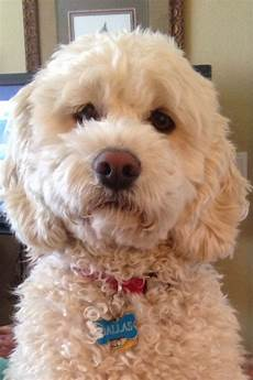 the 25 best cockapoo grooming ideas pinterest cockapoo haircut cockerpoo and cockapoo