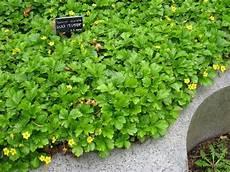 bodendecker hang sonnig waldsteinia ternata in de tuin tuinplanten planten en