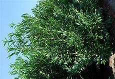laurier haie pas cher laurier prunus caucasica arbustes pour haies pas cher