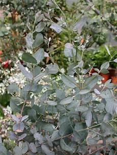 eukalyptus eucalyptus gunnii baumschule horstmann