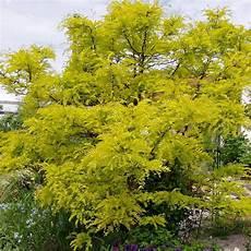 Der Lederh 252 Lsenbaum Sunburst Ist Ein Locker Aufrecht