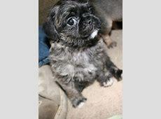 Pugapoo (Pug Poodle Mix) Info, Temperament, Puppies
