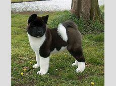 Mara shimas American akitas   Honden rassen en honden foto's