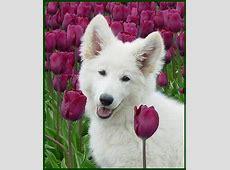 Zwitserse Witte Herder Pups van Vivid Daydream