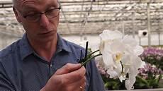 wie pflegt orchideen orchideen pflege wie schneide ich orchideen zur 252 ck