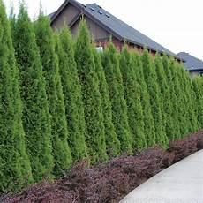 thuja hecke pflanzen thuja emerald fast growing tree 8 hedge plant