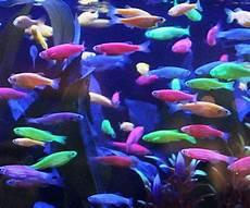 49 best meet glofish 174 images pinterest fish aquariums aquarium fish and aquariums