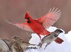Cardinal Bird Wallpapers 59  Background Pictures