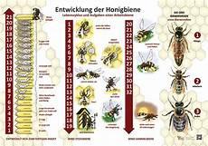 bienen und partner entwicklung der honigbiene 50x70 70x100 cm insekten