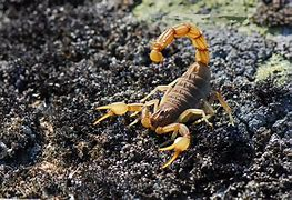 Image result for Scorpion Pics