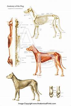 Dog Muscle Chart Dog Muscular And Skeletal Chart Clinical Charts And Supplies