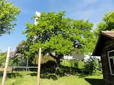 mein baumtagebuch mein baum der zwetschgenbaum