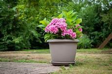 hortensias en pot culture et entretien