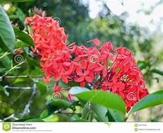 pflanze mit roten blüten rote bl 252 te stockbild bild abloom tropen blatt