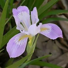 iris fiore immagini interesting plant douglas iris iris douglasiana via