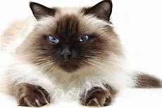himalayan cats himalayan cat purrfect cat breeds