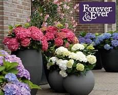 hortensien f 252 r garten und terrasse neue pflanzen