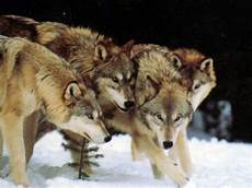 Wallpaper Wolf Pack Images