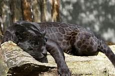 Black Jaguar The Wiki Fandom Powered By Wikia