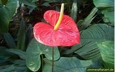 pflanze mit roten blüten flamingoblume anthurie anthurium