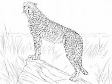 cheetah observing its prey coloring page free printable