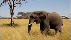 Malvorlage Afrikanischer Elefant Afrikanischer Elefant Tansania Serengeti Park