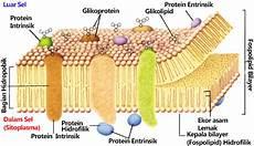 Mengetahui Lebih Jauh Struktur Membran Plasma Dan Fungsi
