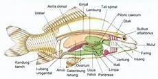 Mengetahui Anatomi Ikan Secara Lengkap Beserta Fungsinya