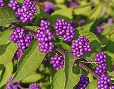 Strauch Mit Lila Beeren - fall berries www coolgarden me
