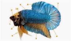 Morfologi Tubuh Ikan Cupang