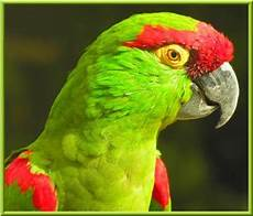 perroquet a gros bec les plus beaux oiseaux du monde