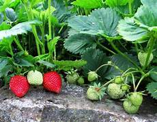 Gardening Strawberries by How To Plant And Grow Strawberries In The Garden Dengarden