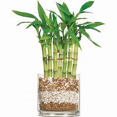 bambou en vase brussel s lucky bamboo 7 stalk curly small indoor