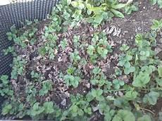 Muss Ich Beim Erdbeeren Umpflanzen Auf Gewisse Dinge