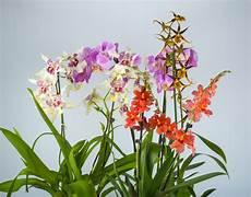 wie pflegt orchideen cambria orchidee pflegen 187 so gedeiht sie bestens