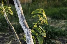 walnussbaum 252 ber stecklinge vermehren 187 so gelingt s