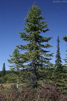 engelmann sprüche engelmann spruce picea engelmannii synonyms picea