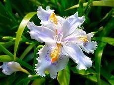 iris fiore coltivazione p 236 creativa orchidea o spadoni iris japonica