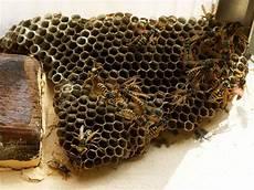 comment trouver un nid de frelon o 249 trouver un nid de gu 234 pes extermination de gu 234 pes