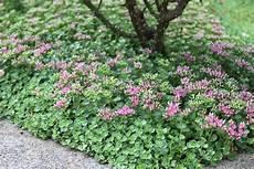 pflanzen trockener standort creech stonecrop monrovia creech stonecrop