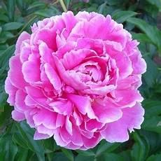 pivoine arbustive en pot les pivoines fleurs du dieu pan botanic 174