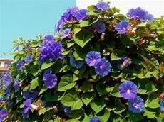 Fleurs Annuelles Grimpante Semis Et Entretien Des Fleurs